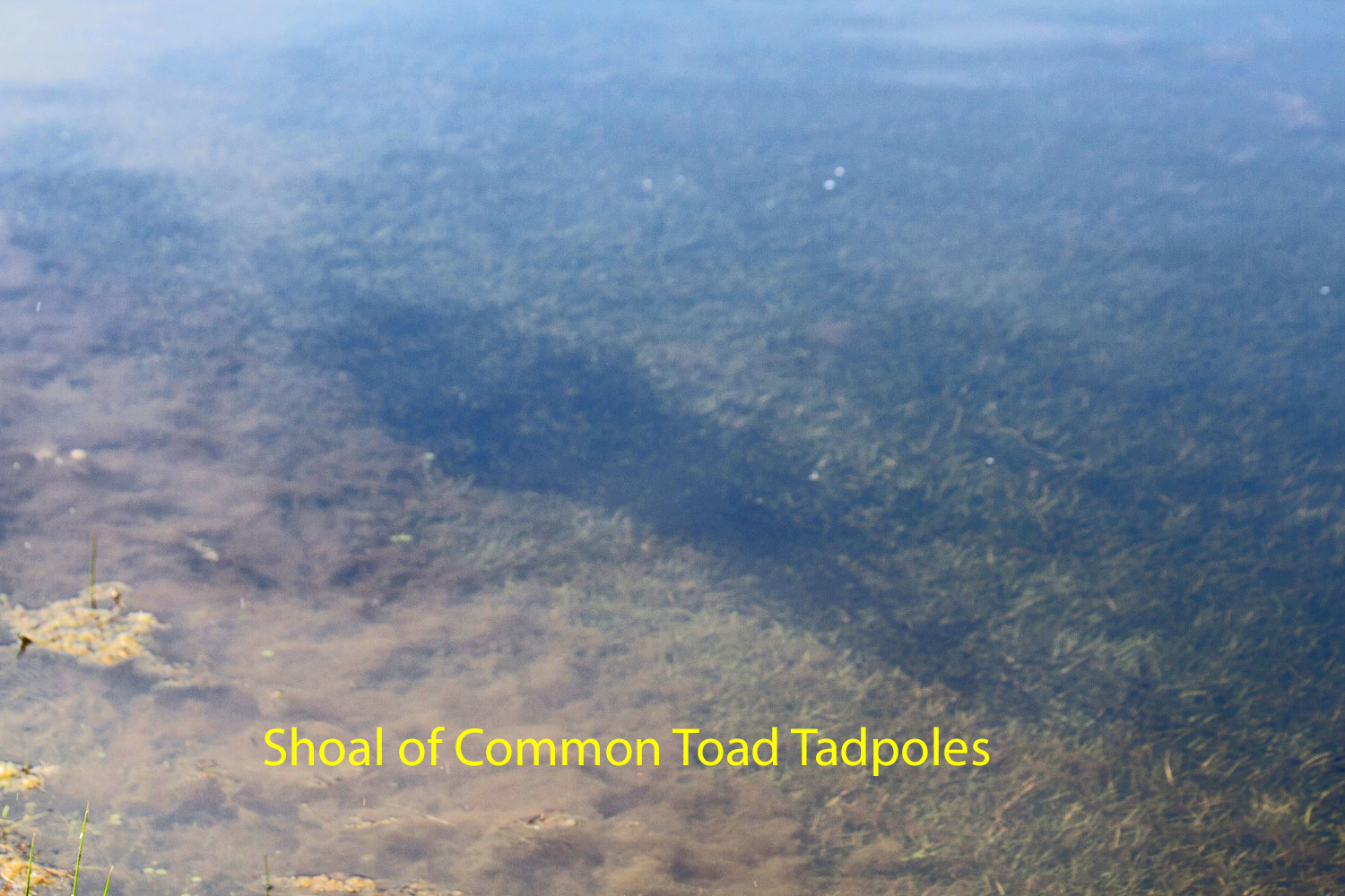 019-shoal-of-common-toad-tadpoles-1-1-9dd7bc314107c217ceb02673aa61321eea43bb94
