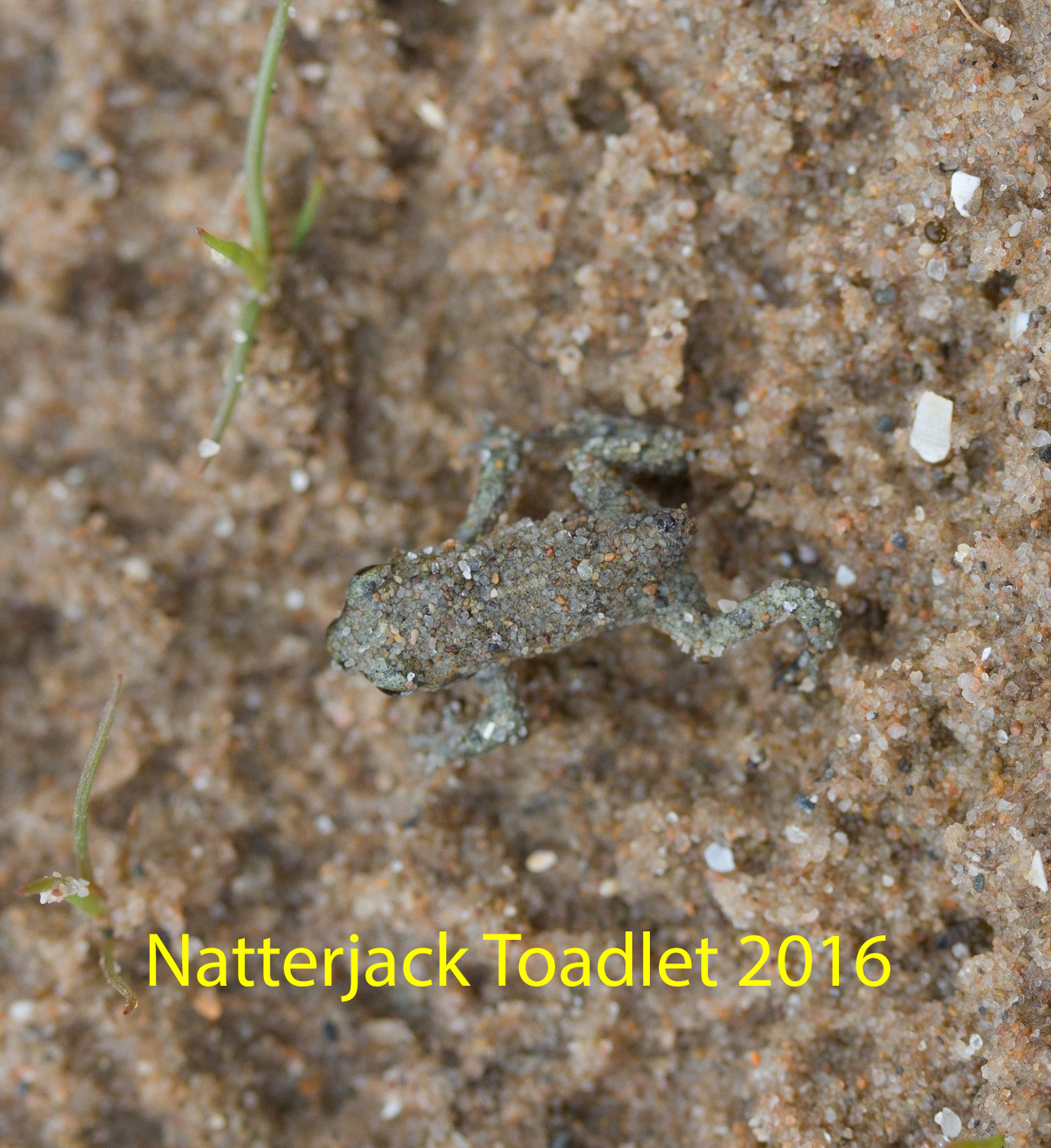 img_2312-natterjack-toadlet-1-1-4523602458079e9f03c0b39170ee01f277be2a16