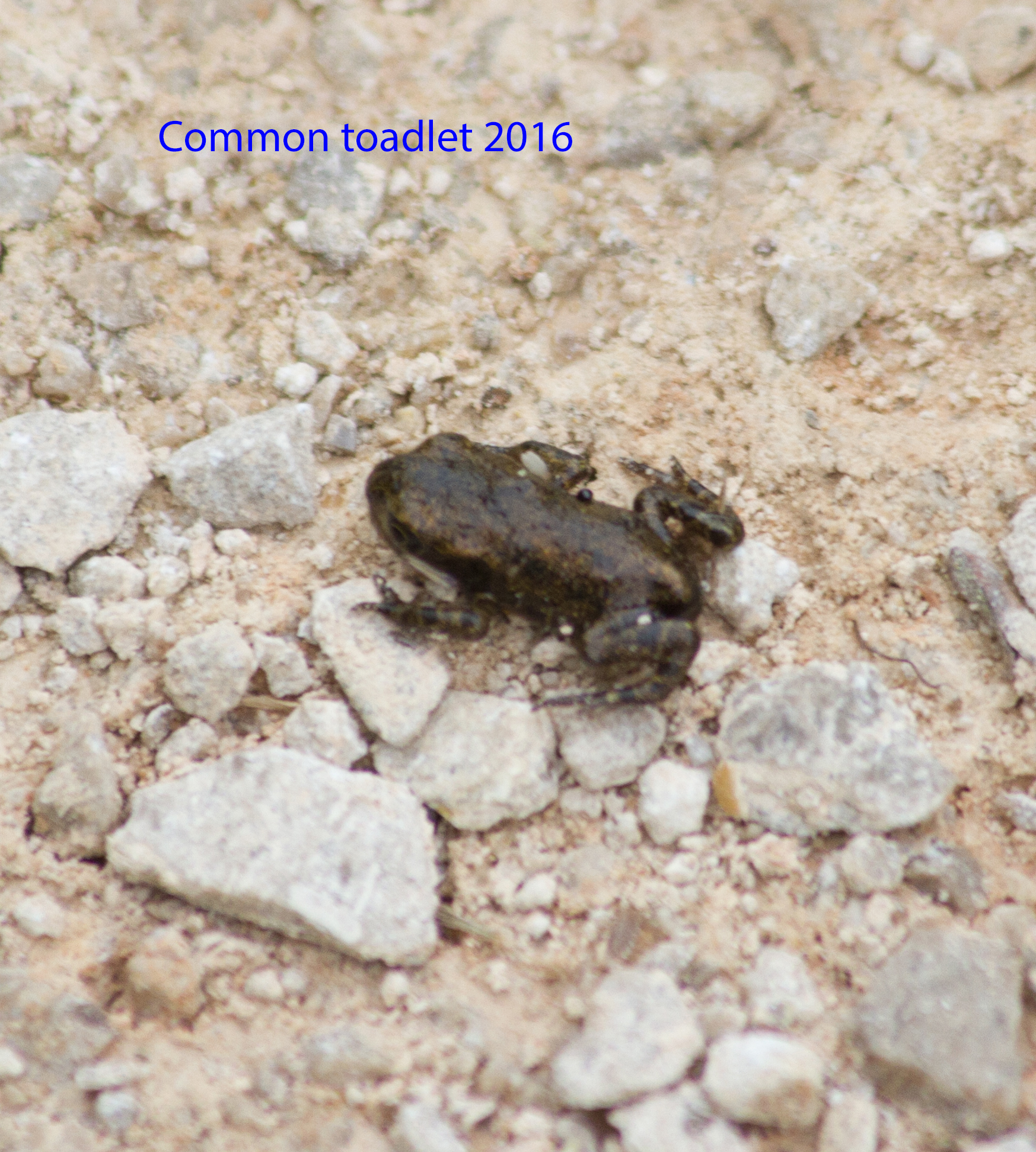 img_2320-common-toadlet-19th-june-2016-1-1-1d294a67001e30b0b570be08b9ca7567800b1b94