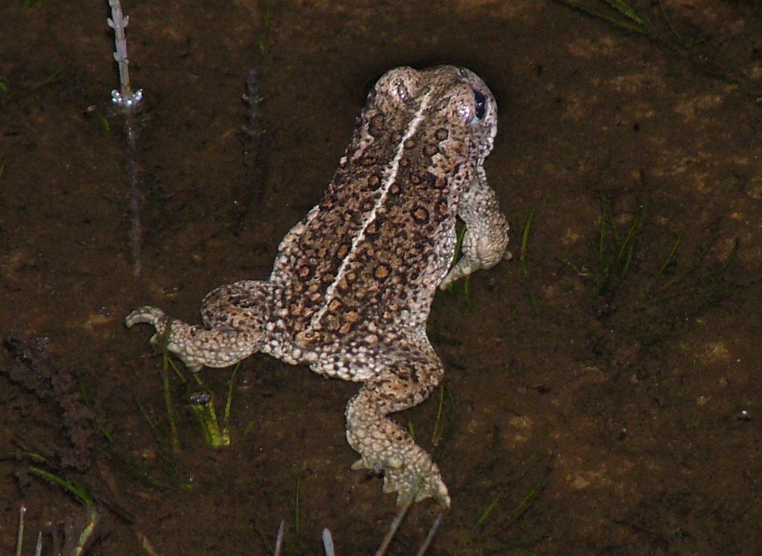 natterjack-toad-walney4