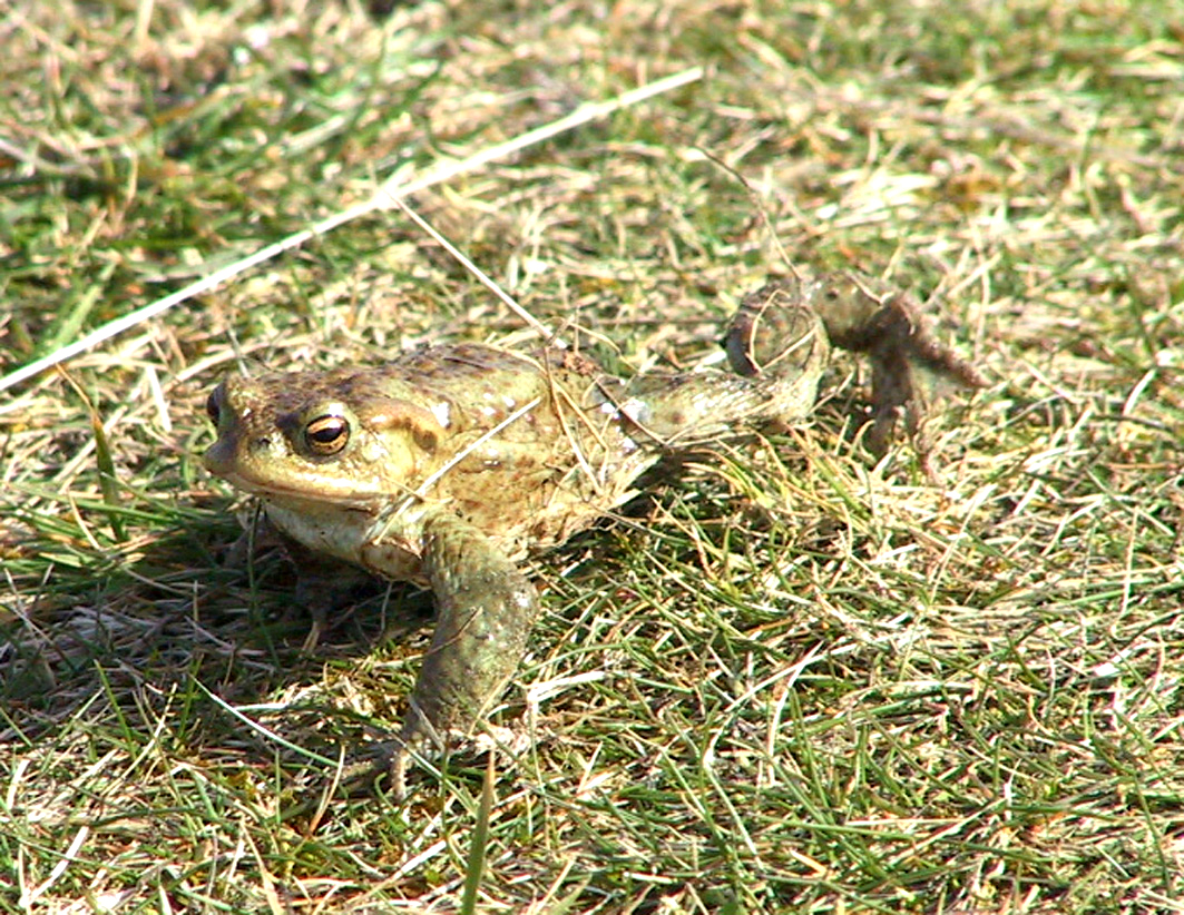 stretching-toad