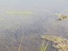 018-shoal-of-common-toad-tadpoles-1-2-99ac54eb6f14935d04e1c2c692de1c2d76fc8275
