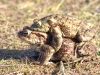 mating-toads