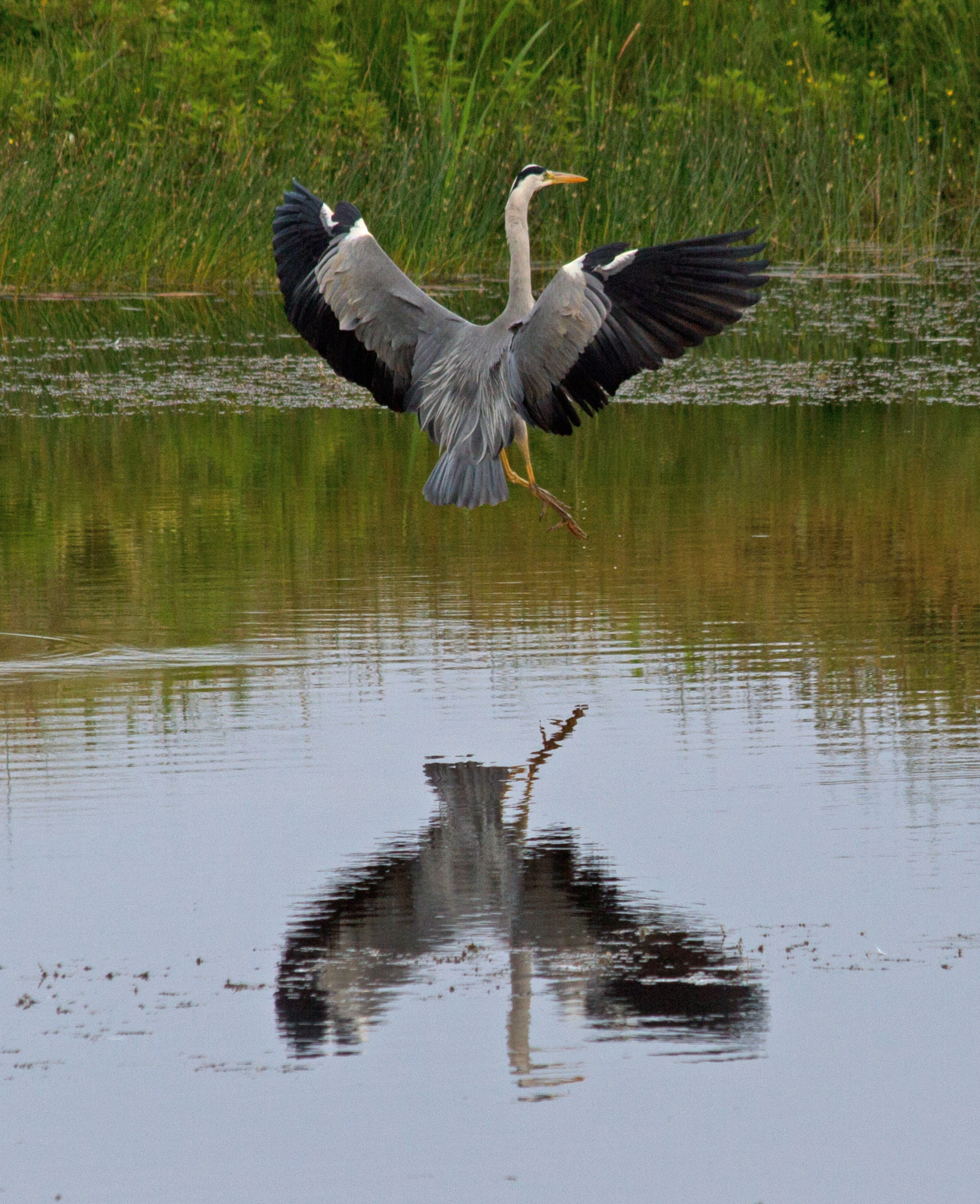 001-heron-and-reflection-1-1-60d751ab3161470a362d12b5733fa6a28e5d9019