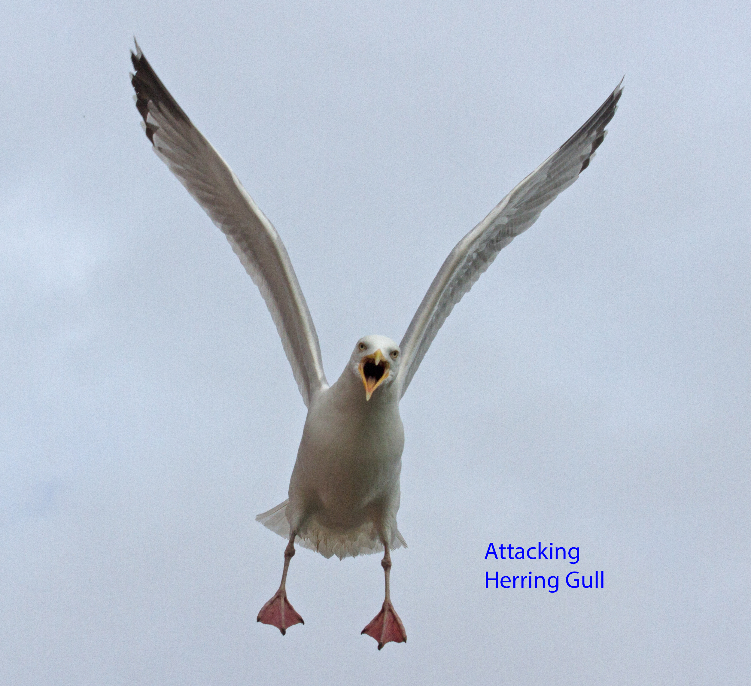 002-attacking-herring-gull-1-1-1eeb671aa5c9f55ab06eabbc9b2886cf9df5c37f