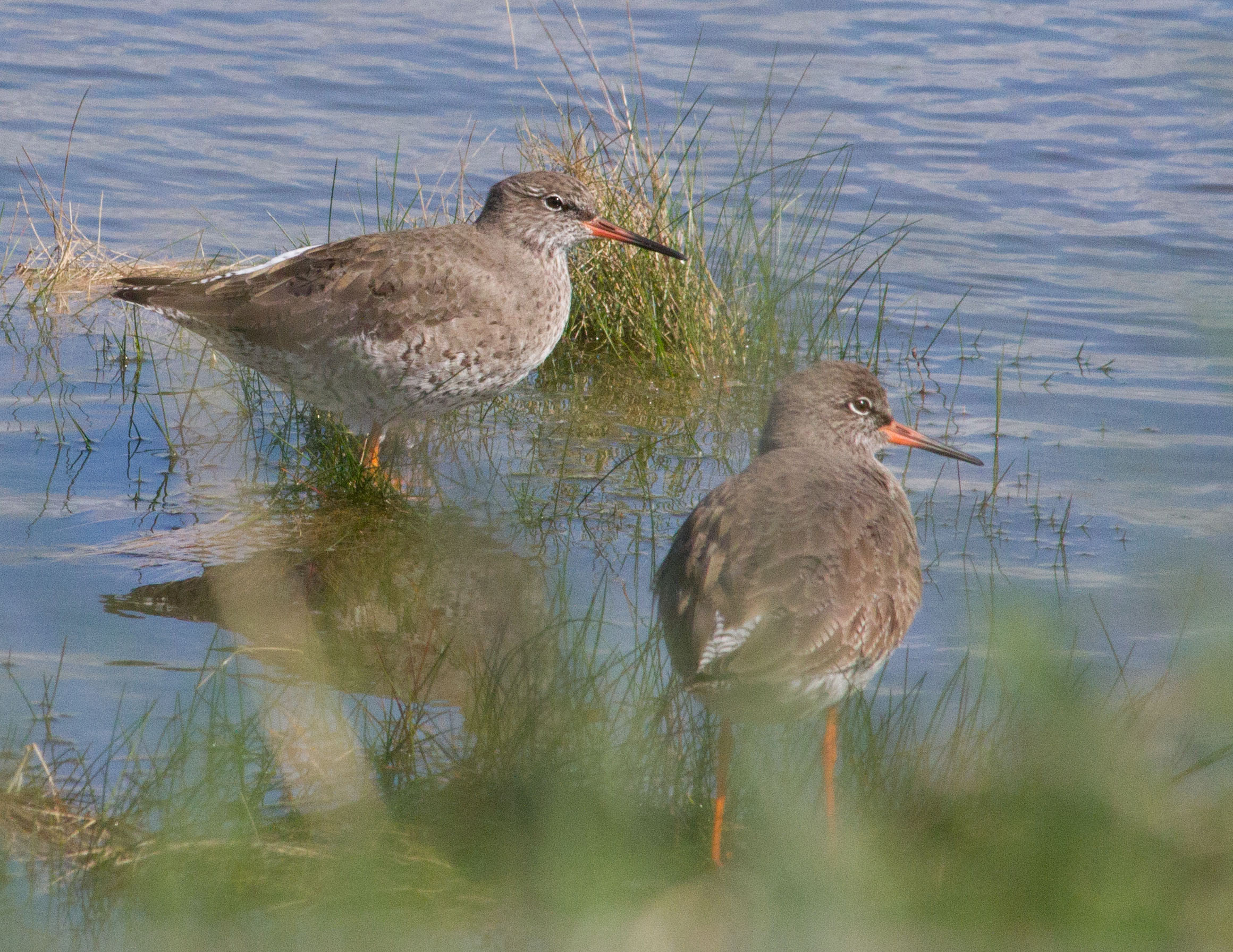 004-pair-of-redshank_edited-1