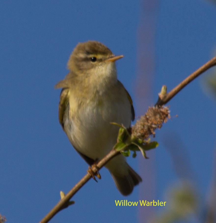 011-willow-warbler-1-1-cce52bc297a5af5abd4707695bb805ee7ff6e5db