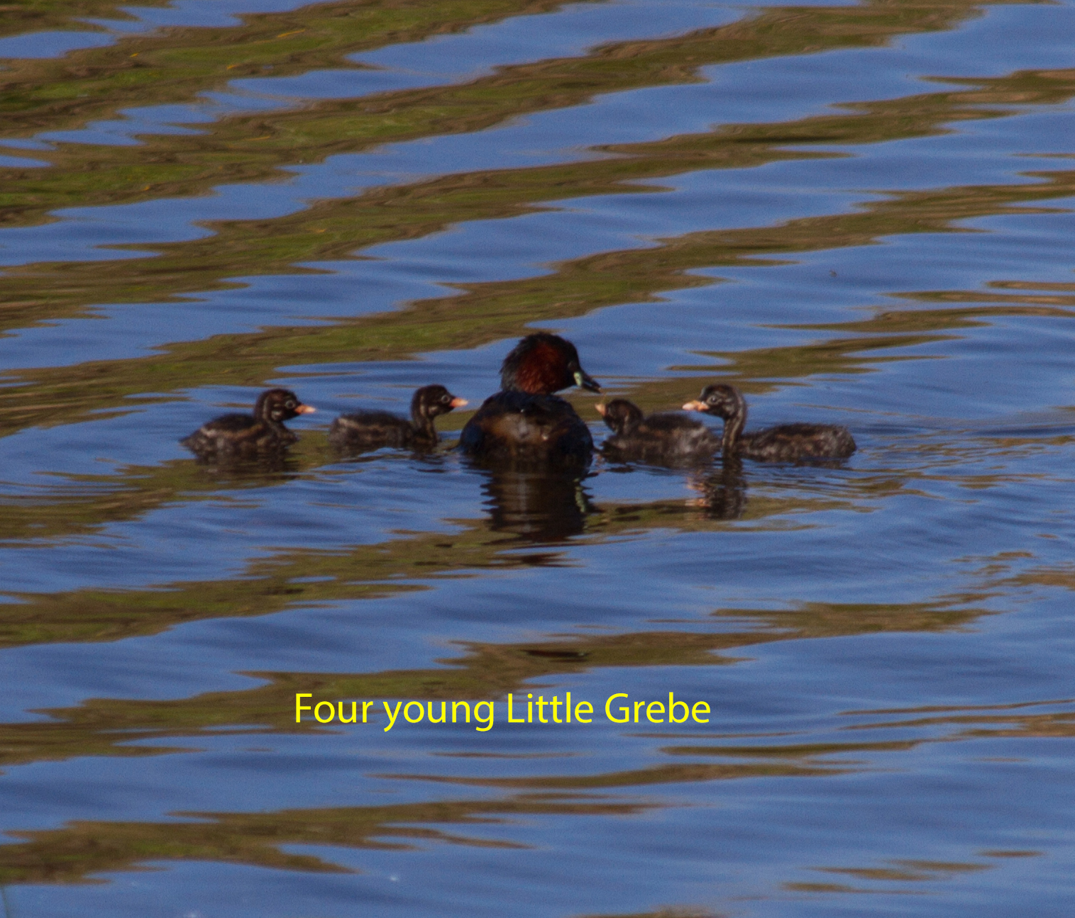 013-little-grebe-with-four-young-1-1-a3ec91ec2683bfa71e098c7ff606cc805dd57dfd