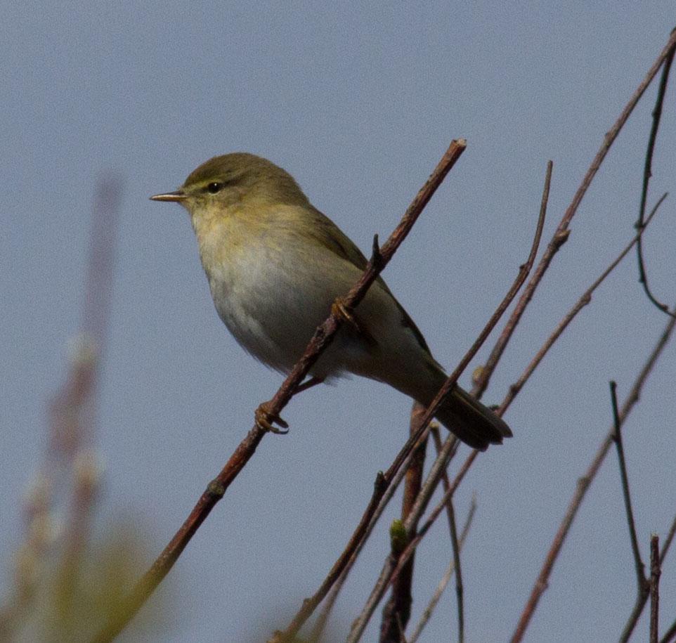 023-willow-warbler