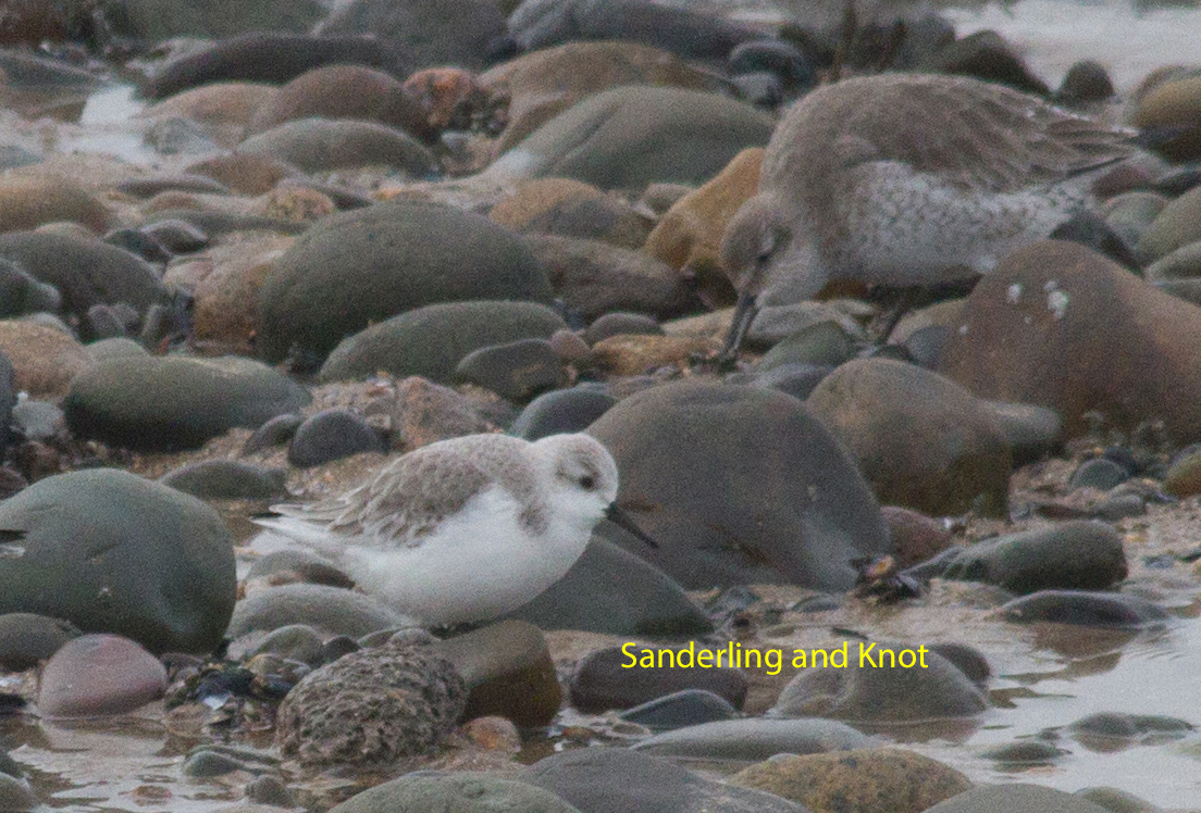 038-sanderling-and-knot-1-2-317d6656c39549006967b1940d2e7b2792a88b45