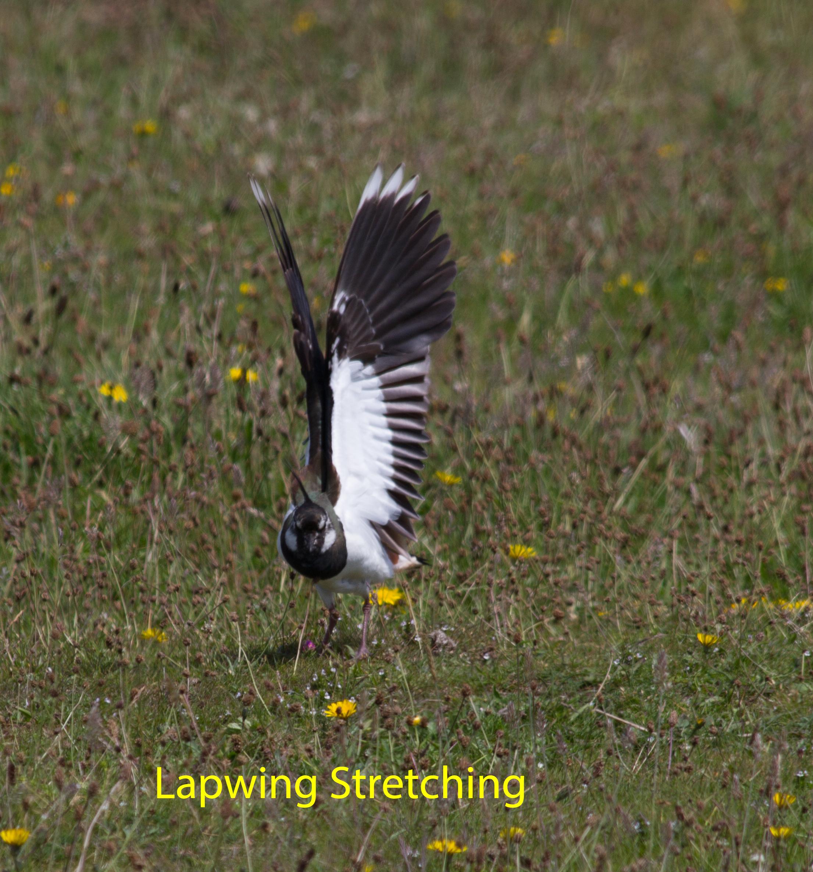 040-lapwing-stretching-1-2-992f2d1a393c962c1f4e71d0786650f6ca16de83