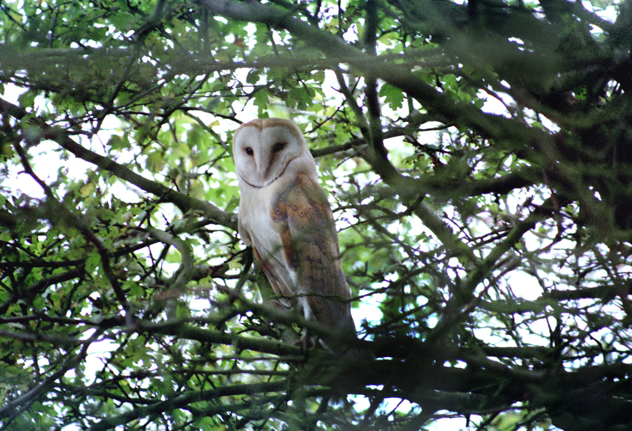 barn-owl-walney
