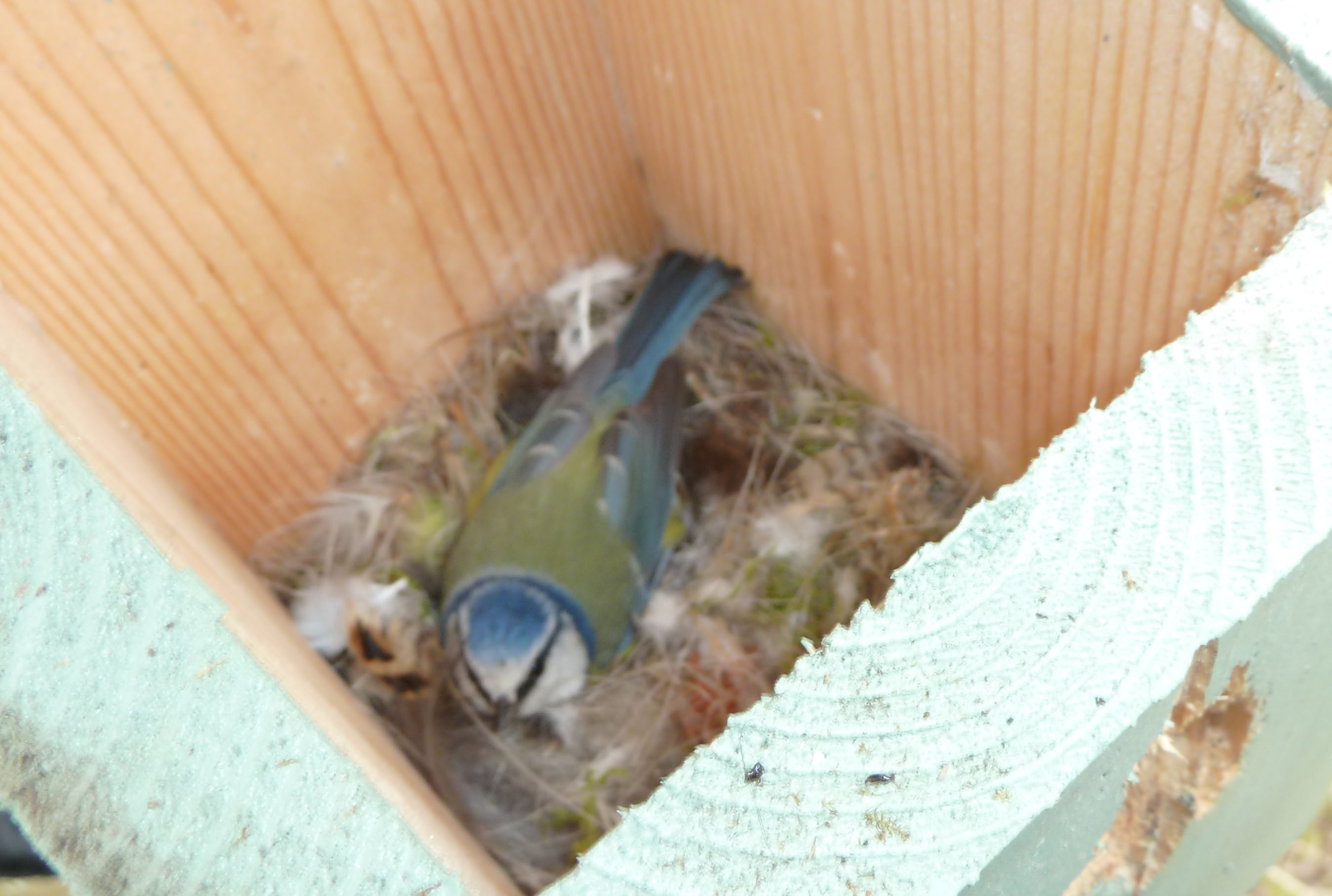 bird-box-no-4-blue-tit-on-eggs