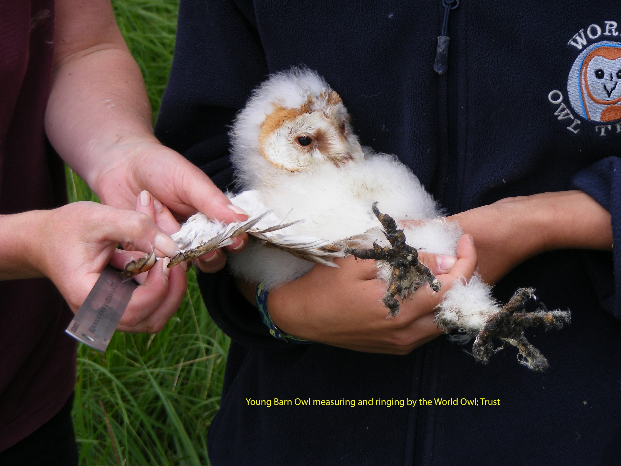 dscf5279-young-barn-owl-measuring-and-ringing-by-the-world-owl-trust-78fd4b5dc2bc9e4b01de268cea169dbb459f4e0a