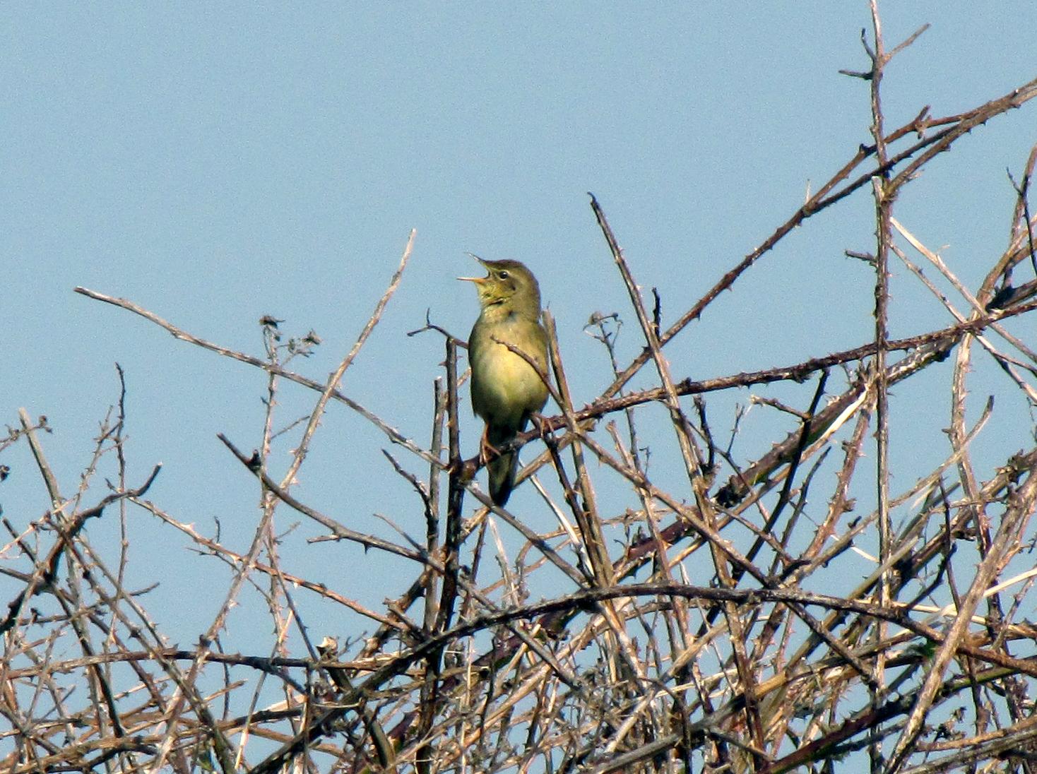 grasshopper-warbler-walney4