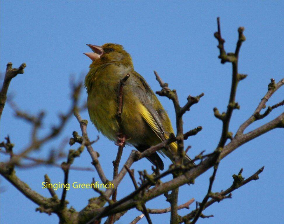 greenfinch-singing-3-a14da20ba4c8d06ba6167344fc208b35bba004cc