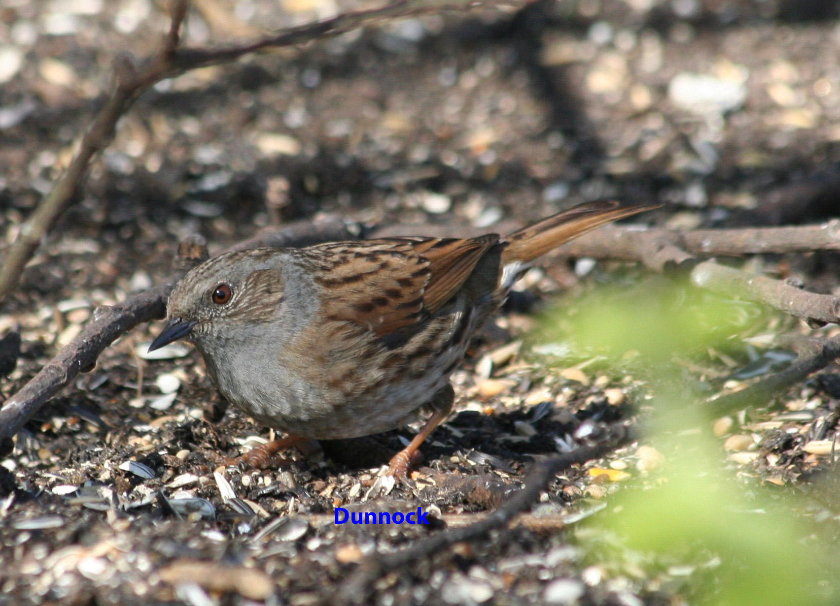 hedge-sparrow-under-feeders-april-2010-11-581f0e40a2d4e6b871e95618e254e2e98a03150c