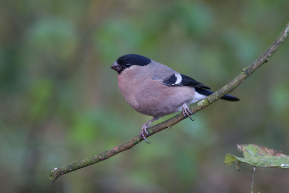 img_2320-female-bullfinch