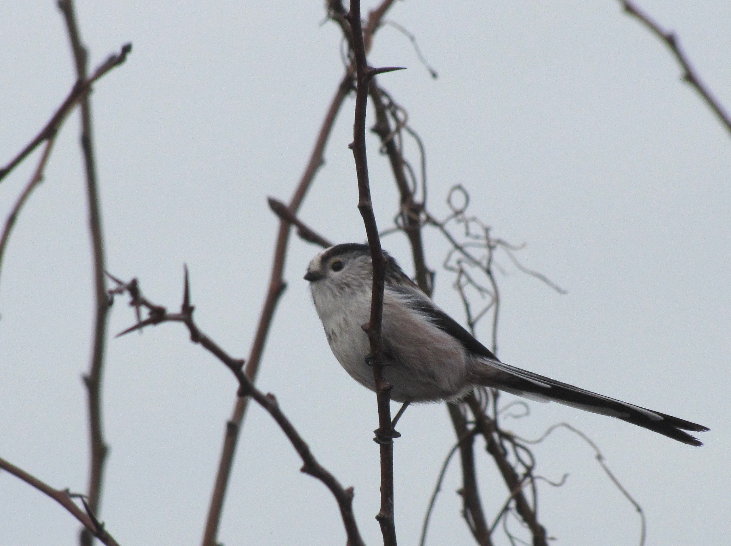 long-tailed-tit-walney