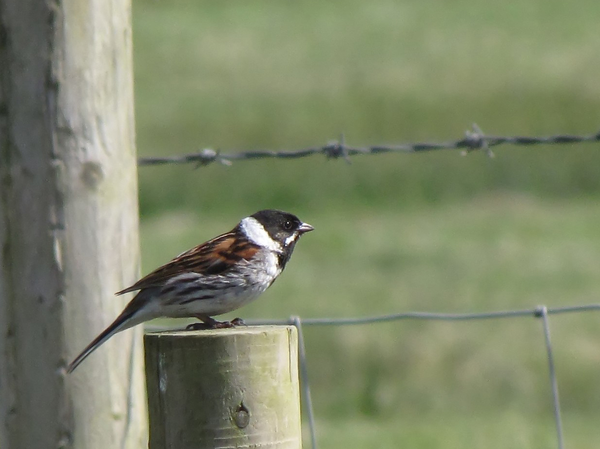 reed-bunting-walney4