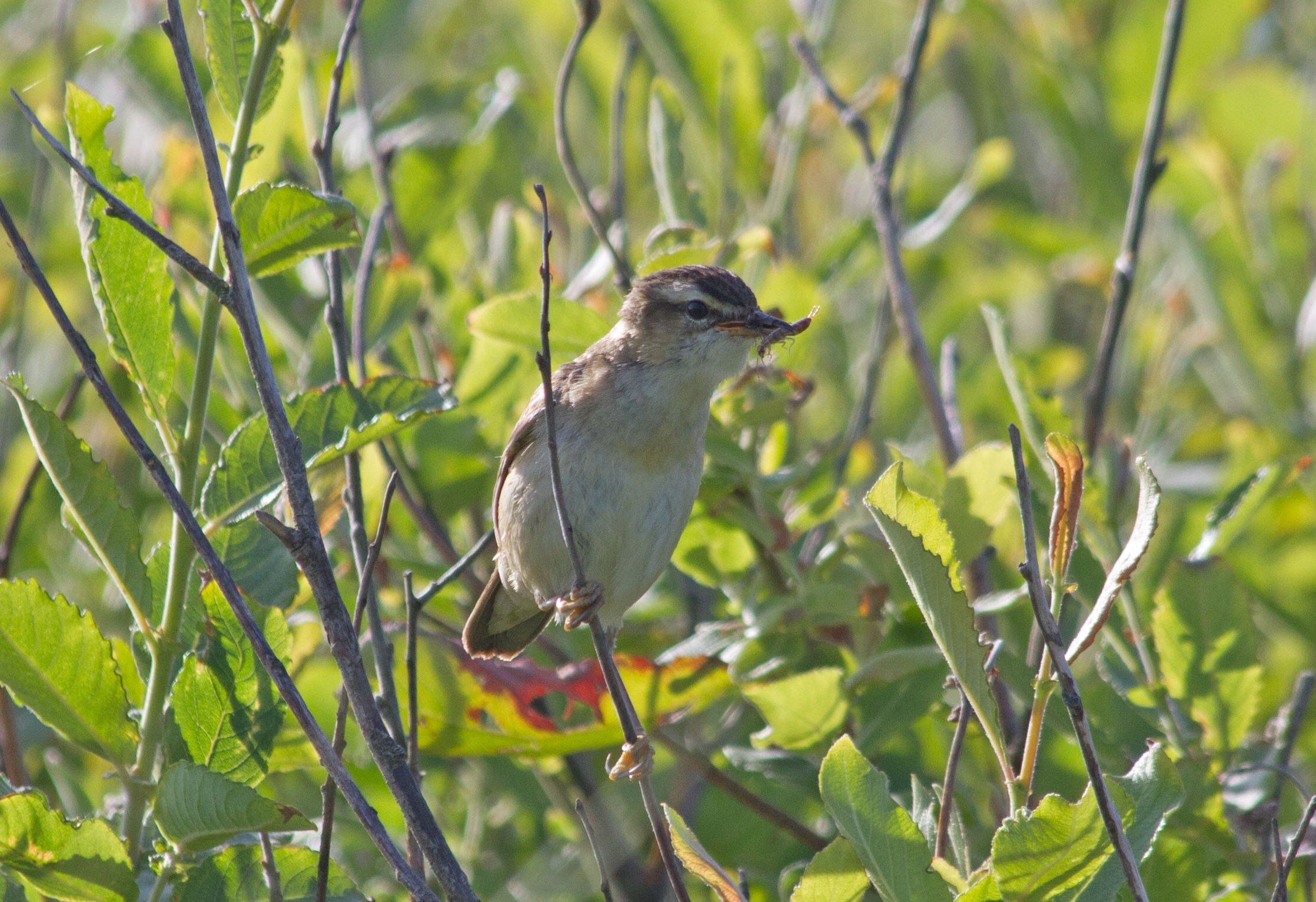 sedge-warbler-with-earwig