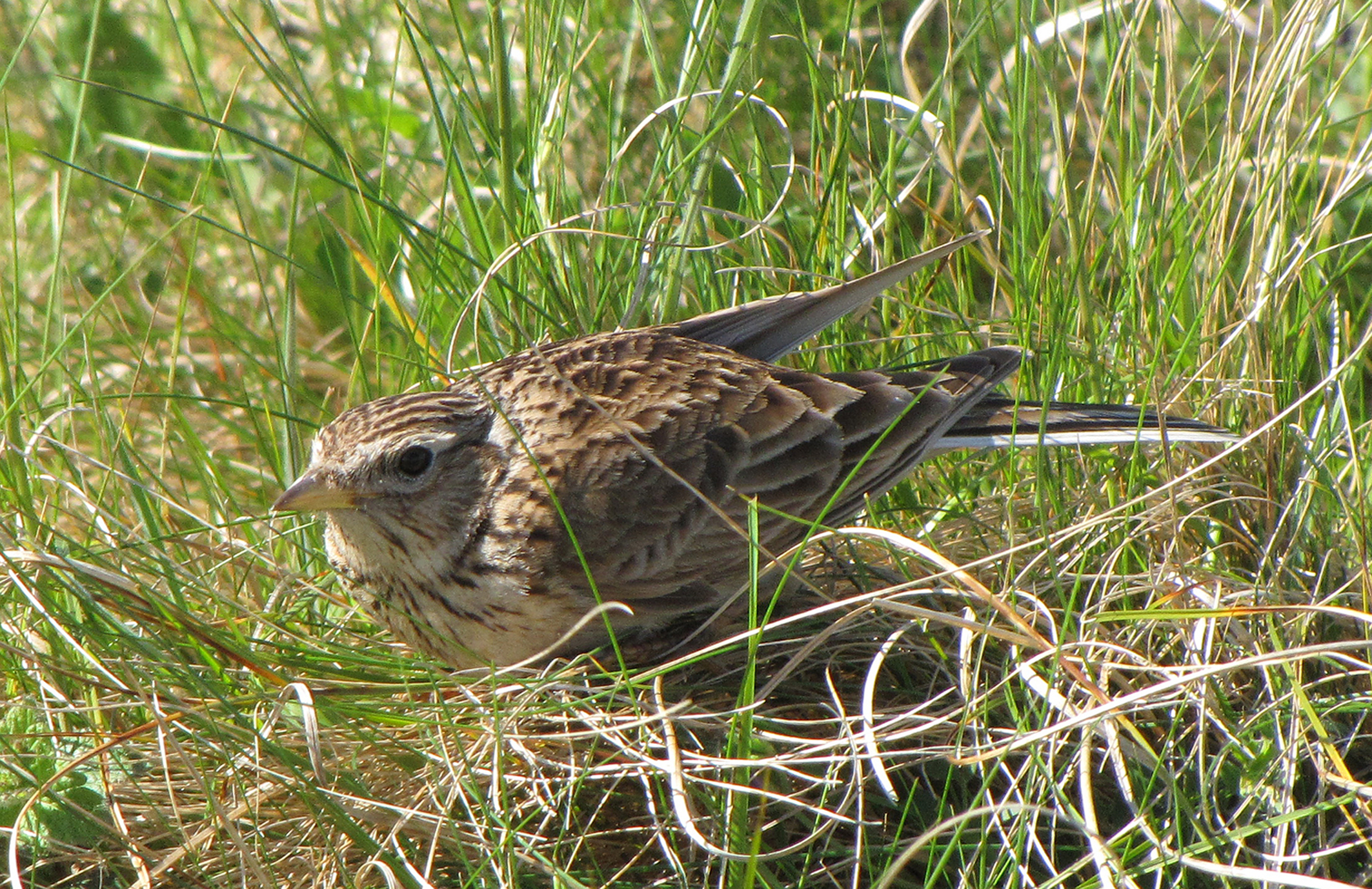 skylark-young-or-spring-walney