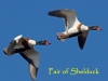 001-pair-of-shelduck-1-1-419f681592a232acd8f72150dfc4a6b8439170c2
