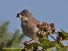 001-whitethroat-with-food-1-1-4c87dd09810c05f272e4e657ef878bc11dd5858e