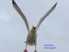 002-attacking-herring-gull-1-1-1eeb671aa5c9f55ab06eabbc9b2886cf9df5c37f