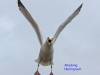 002-attacking-herring-gull-1-1-a405e9df6654a3d0182788211fd85a2574dd7726