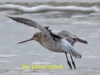 003-bar-tailed-godwit-in-flight-1-1-6143cd80260013298099631dc3584336f793a08f