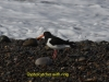 003-oystercatcher-with-ring-1-1-6ddda5ed2a99de7f73993a143cdc8a2a824723c0