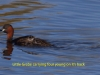 010-little-grebe-with-young-on-its-back-1-2-60e218d088602f86ba6ab5cbf397c2f8219a4328