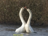 010-mating-swans-north-end-of-walney-1-1-f4995c0ac0fb4ca218d89fcae6bb198b44b94db5