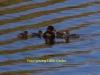 013-little-grebe-with-four-young-1-1-a3ec91ec2683bfa71e098c7ff606cc805dd57dfd