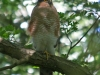 013-male-sparrow-hawk-on-watch-near-nest-1-1-7d77c0734b5d79154243c96a22324f65e03db725