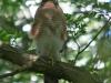013-male-sparrow-hawk-on-watch-near-nest-1-1-7d77c0734b5d79154243c96a22324f65e03db725