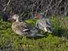 016-pair-of-teal-enjoying-the-early-morning-sun-1-1-9613733e4bad24c5cddca0865264e0c3dae0ac46