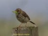 024-meadow-pipit-with-caterpillar-1-1-7ef9c74d494554aed3e81e3bfc4ebb4dc3eda702