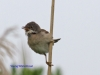 024-young-whitethroat-1-1-e345186dfc057a724ae3a250b094c7c55c52d6dc