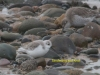 038-sanderling-and-knot-1-2-317d6656c39549006967b1940d2e7b2792a88b45