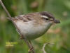 041-sedge-warbler-with-caterpillar-1-1-41a0fc3989227a30a6a7109da15dd269a026bf98