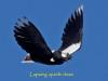 042-lapwing-flying-upside-down_edited-2-f768821b4a1b1f4b0750f8ac76650fe6b5bfb6e0