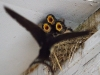 043-young-swallows-about-to-be-fed
