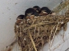049-young-swallows-in-nest