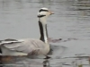 bar-headed-goose-2