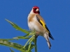 goldfinch-on-willow-june-2011