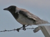 hooded-crow-2-cropped-2-8ee73b2cf2d5c4f8f2c7e09c9b4887c961114e78