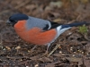 img_2323-male-bullfinch_edited-1