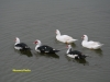 muscovy-ducks-on-fishing-pond-2009-1-a03c1a66d01db0ed75b7c73cbad706a8185085e3